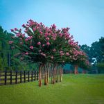 Pink Velour Crape Myrtle Trees in a Row