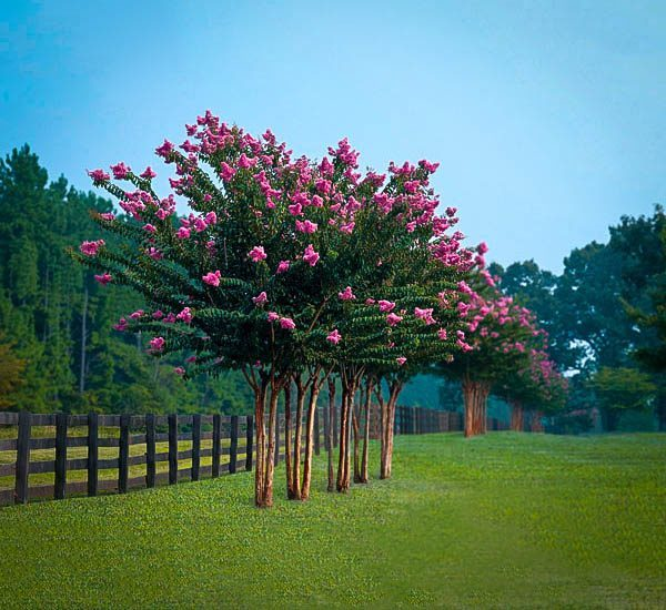 Pink Velour Crape Myrtle For Sale Online The Tree Center