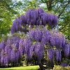 Gorgeous Purple Wisteria Tree