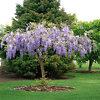 A Young Purple Wisteria Tree
