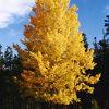 Lone Quaking Aspen Tree