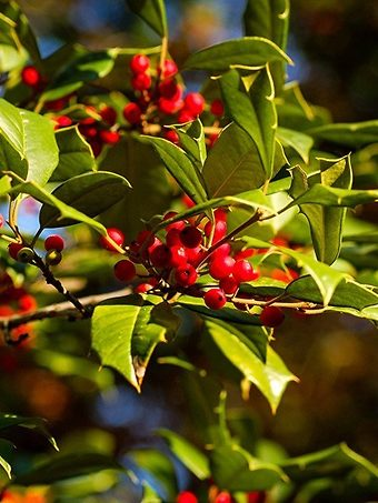 Closeup of Red Holly Berries