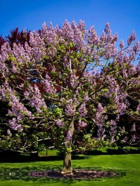 Royal Empress Tree In Bloom