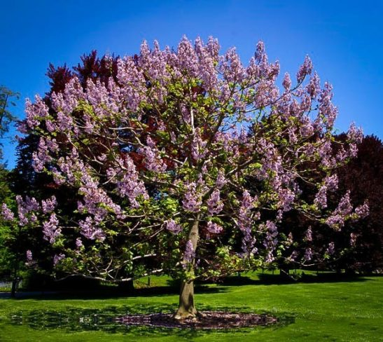 Royal Empress Tree In Bloom