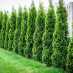 Thuja Green Giant Privacy Screen in garden.
