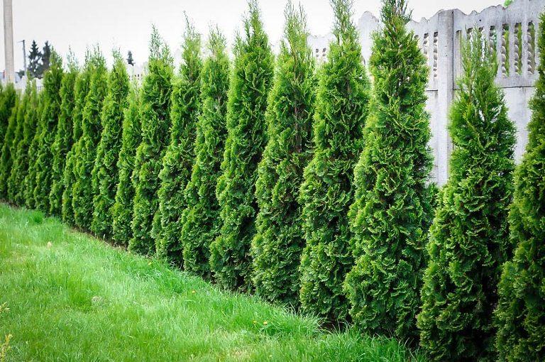 Thuja Green Giant Privacy Screen in garden.