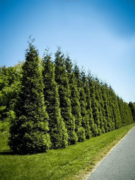 Arborvitae Trees