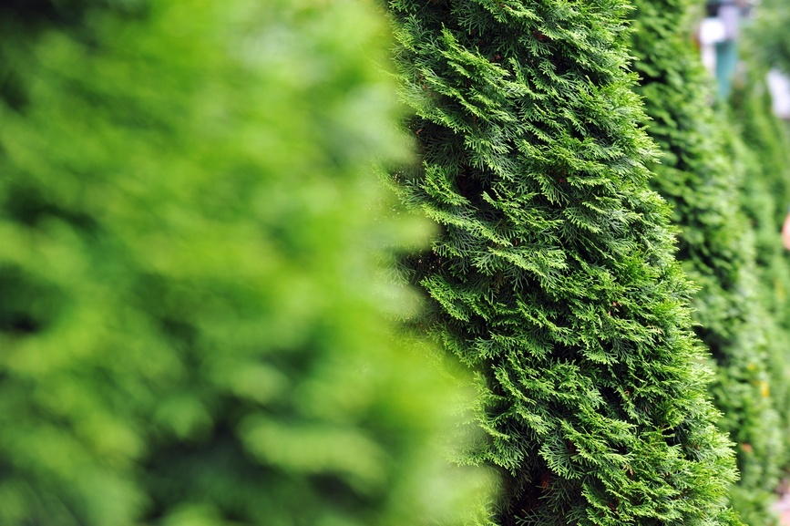 Best Privacy Trees For Your Backyard | The Tree Center™