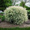 Single Tri Color Willow Bush