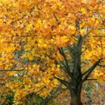Tulip Poplar In Fall