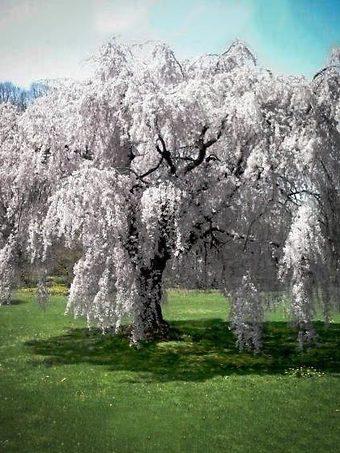 Mature White Weeping Cherry Tree