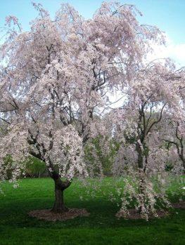 Yoshino Weeping Cherry Tree