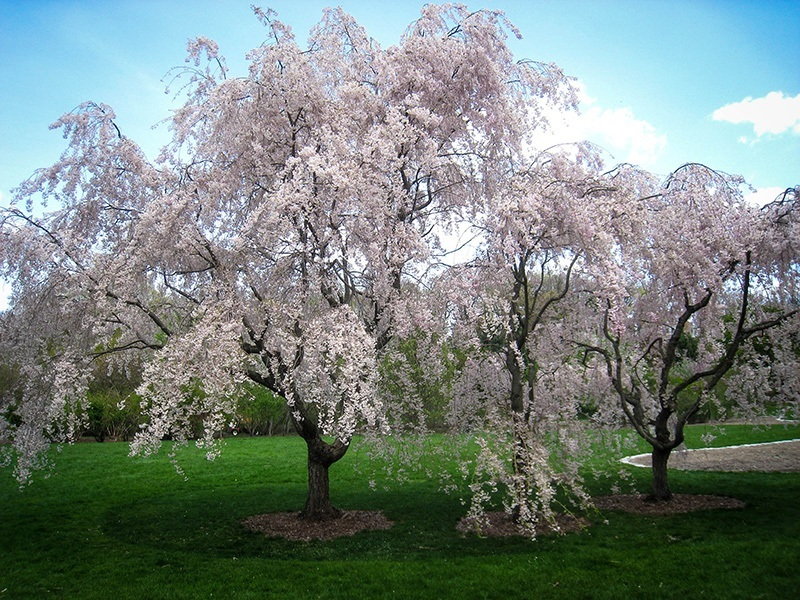 Buy White Weeping Cherry Trees The Tree Center