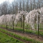 Young White Weeping Cherry Trees