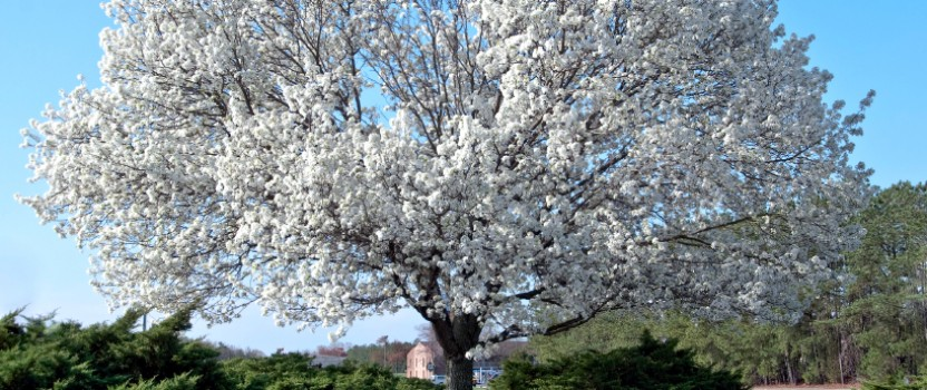 All About The Flowering Dogwood