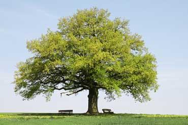 Iowa State Tree - Bur Oak Tree