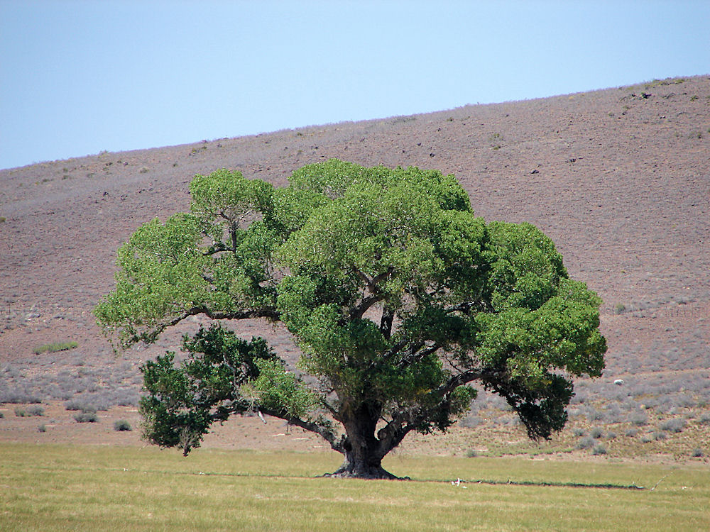 Kansas State Tree Cottonwood