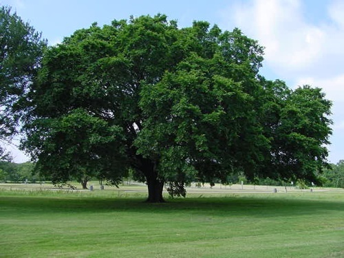 Massachusetts State Tree American Elm