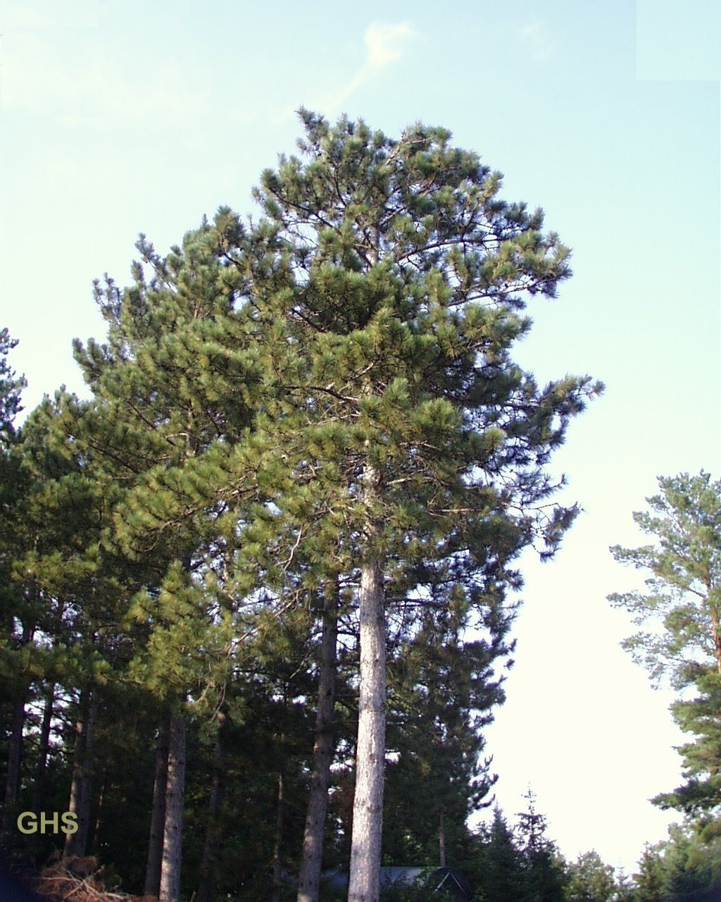 Minnesota State Tree Pinus resinosa