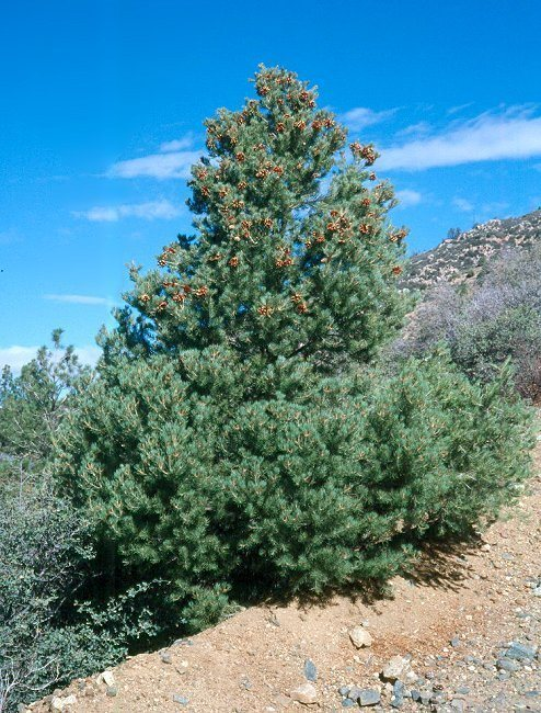 Nevada State Tree - Bristlecone Pine
