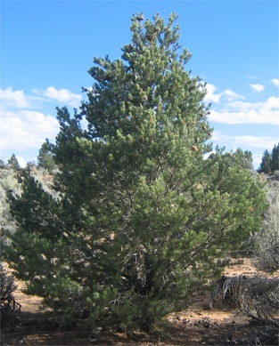 New Mexico State Tree - Pinyon Pine