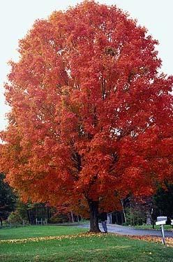 New York State Tree