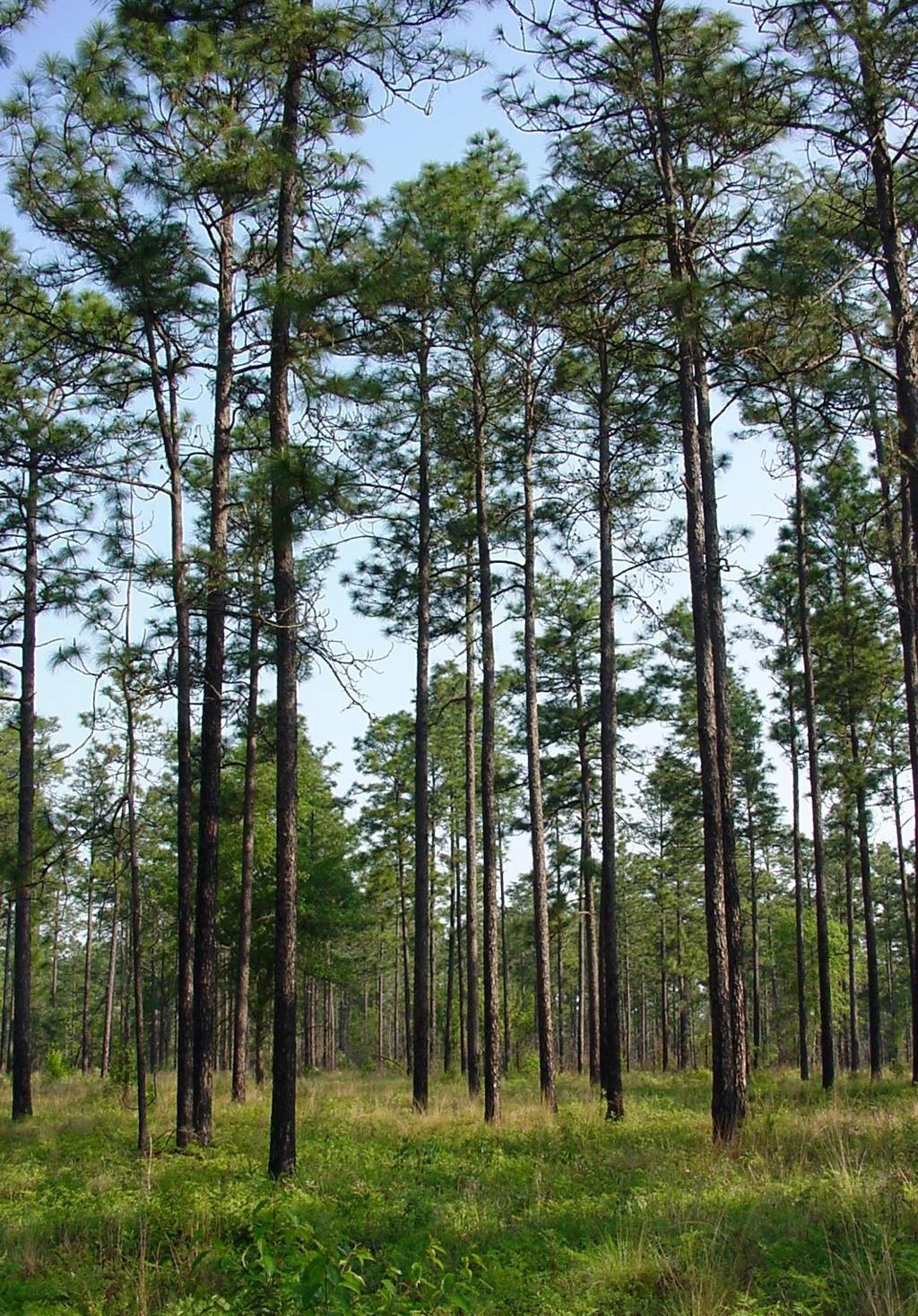 North Carolina State Tree