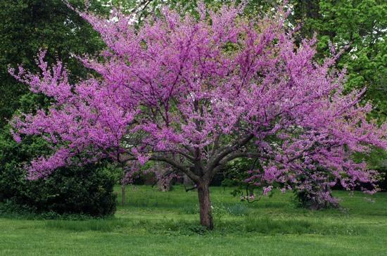 Oklahoma State Tree Redbud