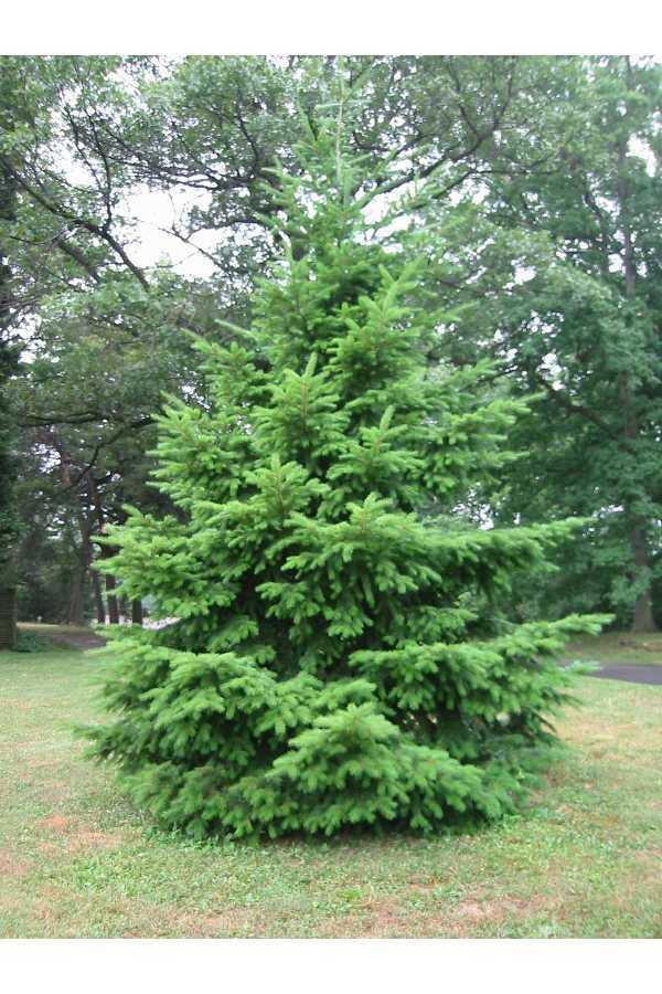 Oregon State Tree
