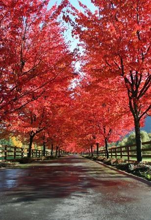 Rhode Island State Tree - Sugar Maple