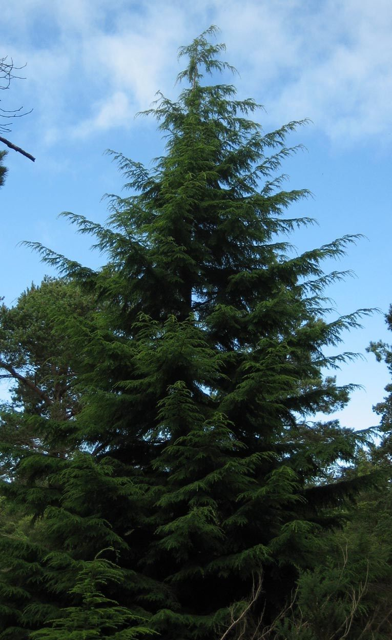 Washington State Tree