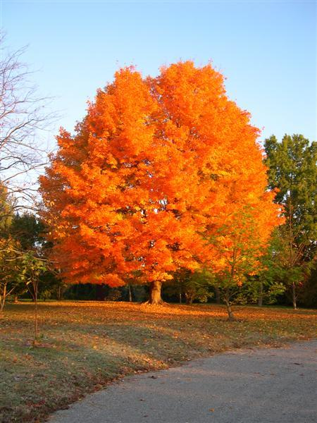 West Virginia State Tree - Sugar Maple