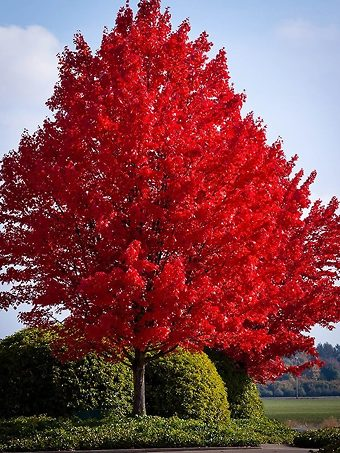 Bright American Red Maple Tree