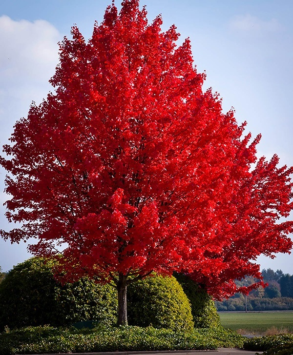 American Red Maple For Sale The Tree Center
