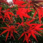 American Red Maple Leaves