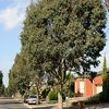 Eucalyptus Trees In A Row