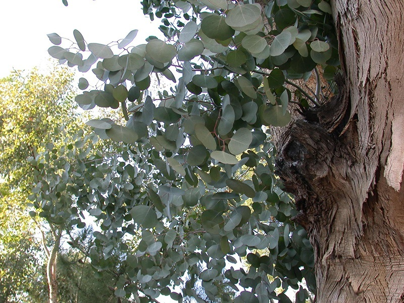 Eucalyptus Tree For Sale Online The Tree Center