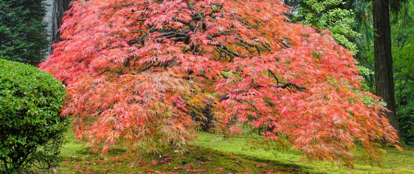 Japanese Maple Trees – Everything You Wanted To Know