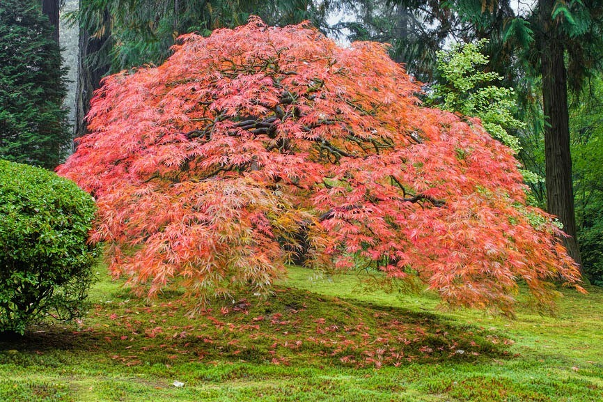 Japanese Maple Trees Everything You Wanted To Know The Tree