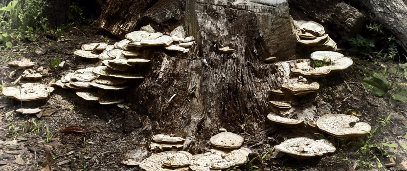 Common Tree Fungus