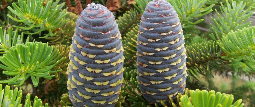 Fir Trees – An Attractive Alternative to Spruce