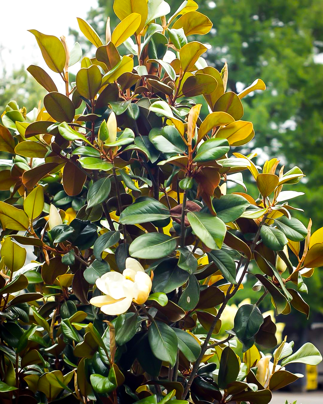 Alta Southern Magnolia For Sale Online The Tree Center