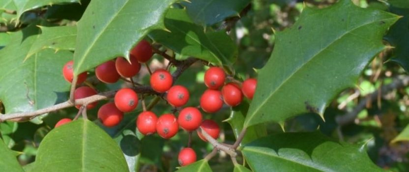 Native American Holly Trees