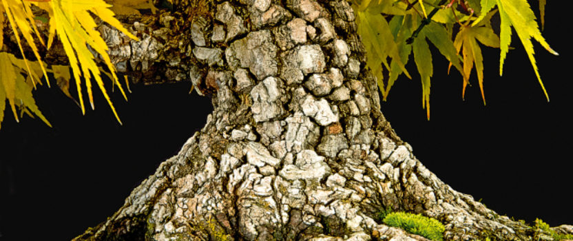 Japanese Maples – Bark Can be Beautiful Too