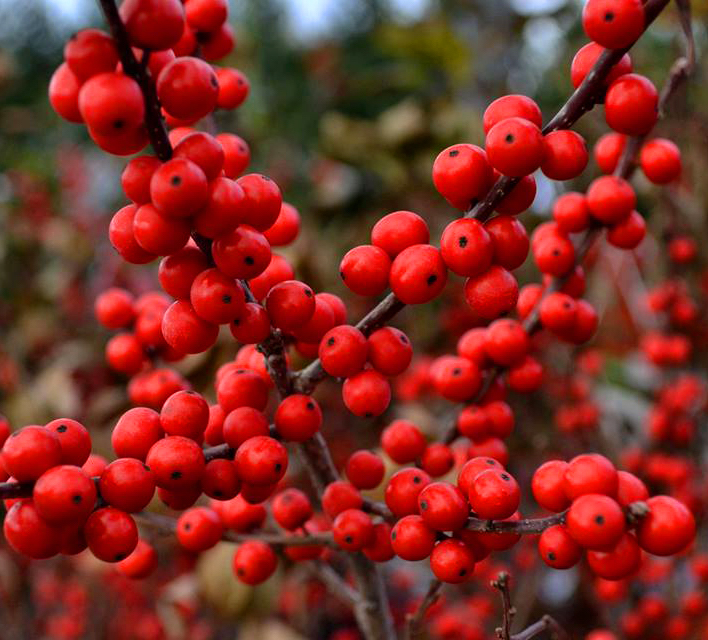 Berry Heavy Winterberry Holly Bush For Sale The Tree Center