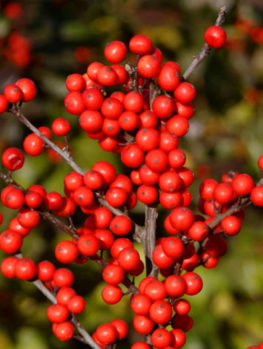 Berry Heavy Winterberry Holly