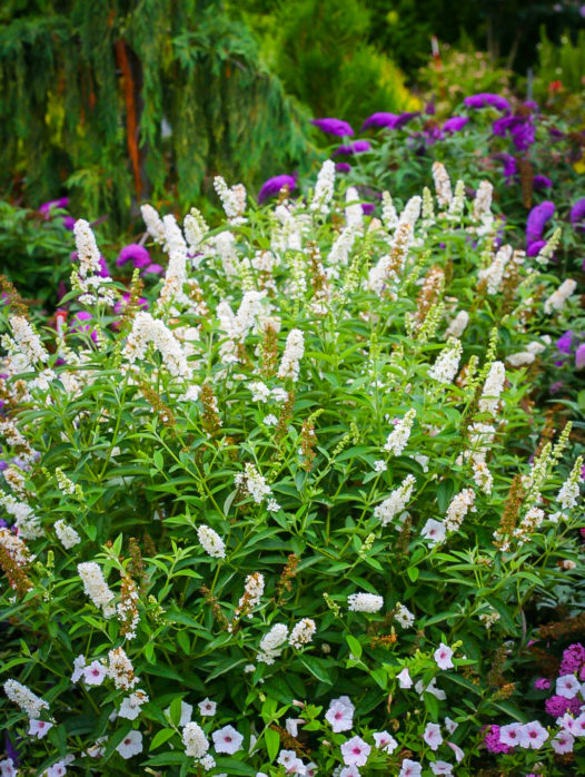 Miss Pearl Butterfly Bush