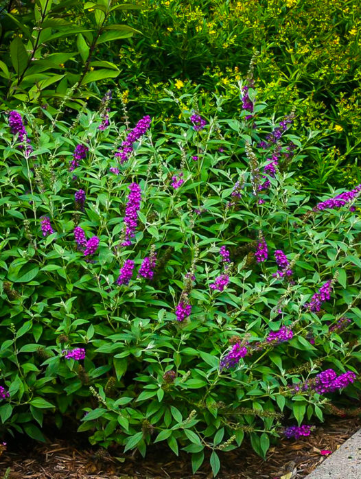 Miss Violet Butterfly Bush