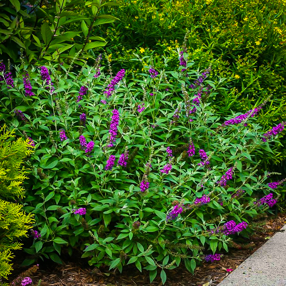 Miss Violet Butterfly Bushes For Sale Online The Tree Center