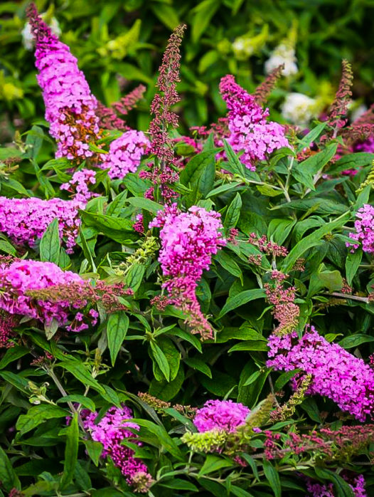 Pugster Pink Butterfly Bush